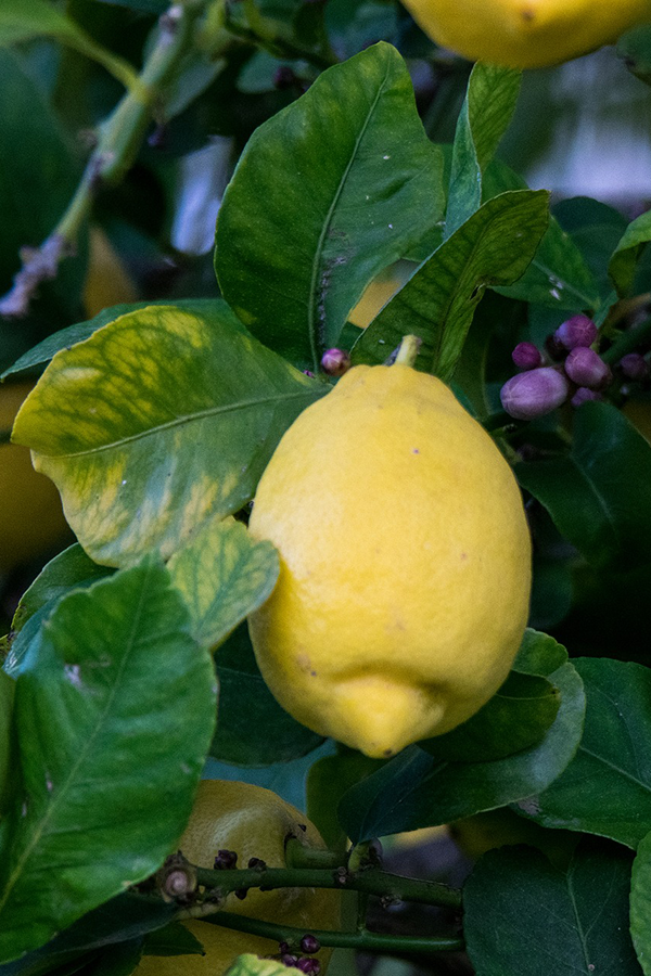 lemon-fruit.png