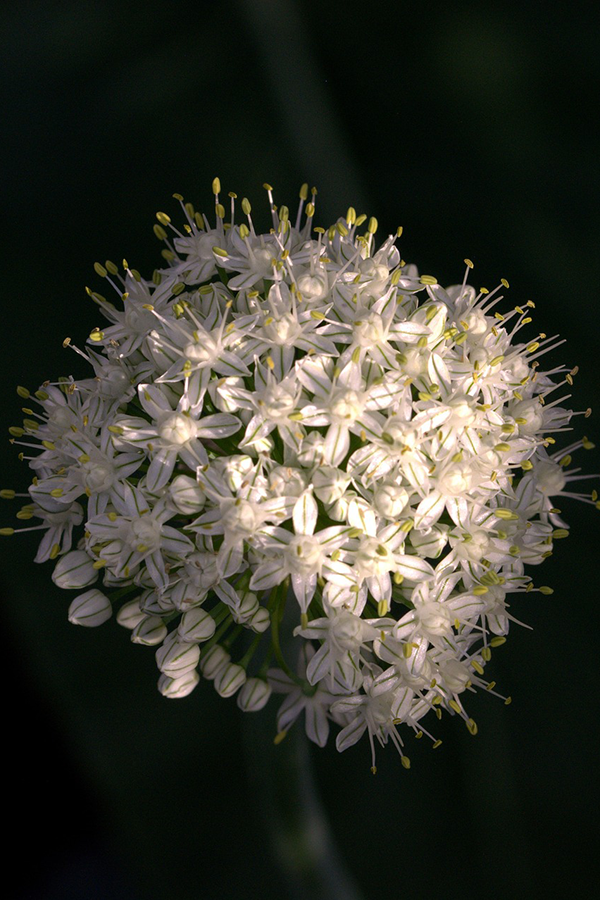 onion-flower.png
