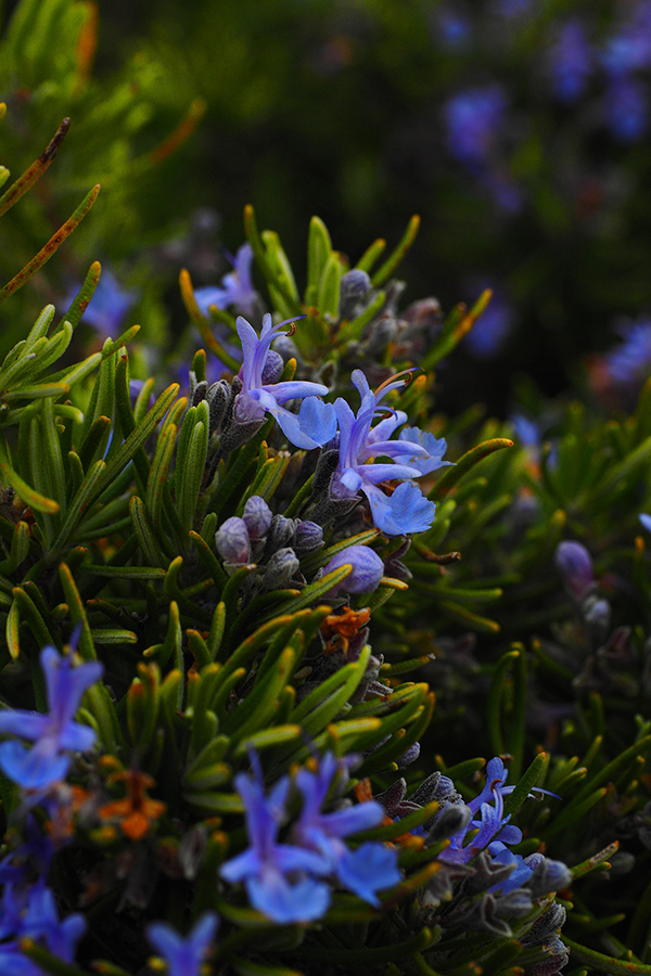 rosemary-flowers.png