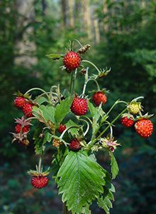 wild-strawberry-remedy.png