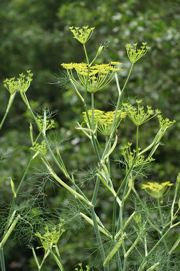 fennel_plant.png