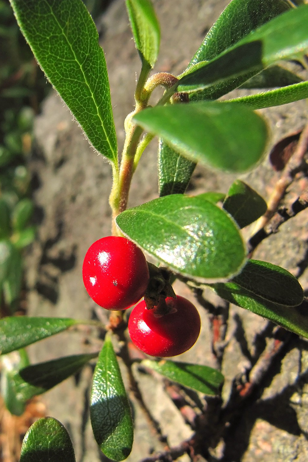 lingonberry_plant.png