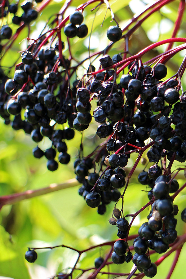 elderberry_plant.png