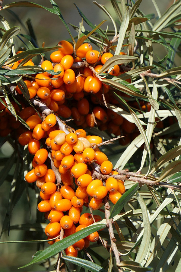 sea_buckthorn_plant.png