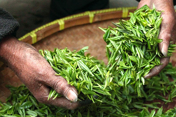 Fresh green tea being handled in a shallow basket