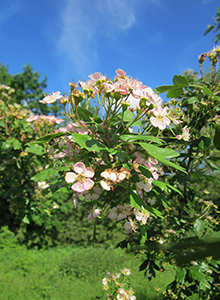 common-hawthorn-remedy.png
