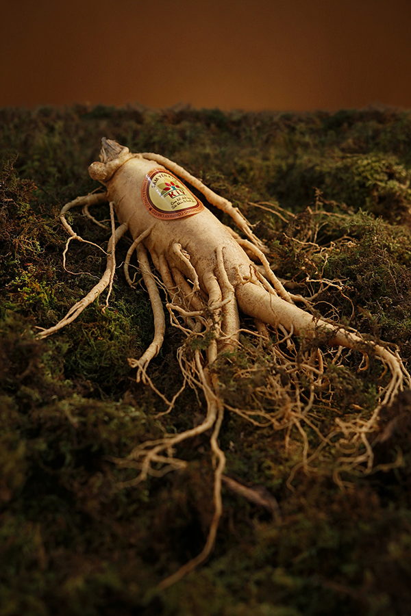 Ginseng root displayed in earth
