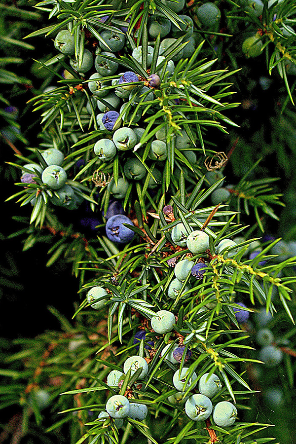 Common juniper plant showing spiky leaves and berries