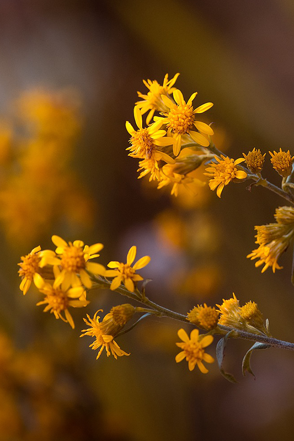 Arnica flowers growing in the wild