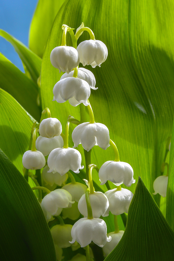 lily-of-the-valley_plant.png