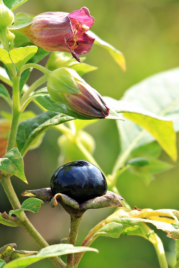 Belladonna fruit, flowers open, flowers closed and leaves in sunlight