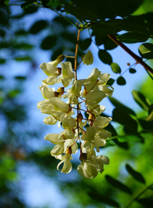 black-locust-remedy.png